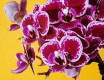 在橙色背景的紫色兰花花 免版税库存照片