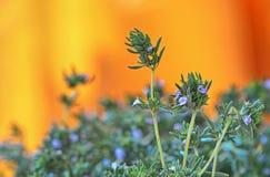 在橙色背景隔绝的新鲜的绿色麝香草草本 库存照片