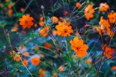 在橙色花中的橙色花 领域花 春黄菊 免版税库存图片