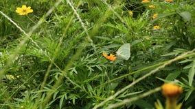 在橙色花栖息的绿色野生蝴蝶 库存图片