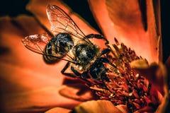 在橙色花的一只蜂 库存图片