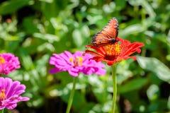 在橙色花的女王蝴蝶 免版税库存照片
