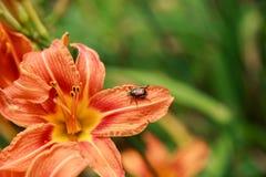 在橙色花的恶臭臭虫 免版税库存照片