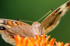 在橙色花的橙色和白色蝴蝶 库存照片