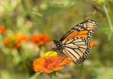 在橙色花的美丽的黑脉金斑蝶 库存照片