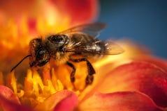 在橙色花的蜂与copyspace 免版税库存照片