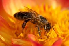 在橙色花的蜂与copyspace 库存照片