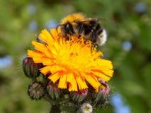 在橙色花的蜂 免版税库存图片