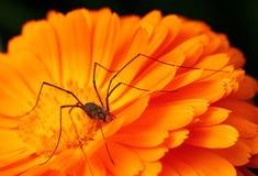 在橙色花的蜘蛛 免版税库存图片