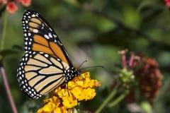 在橙色花的黑脉金斑蝶 图库摄影