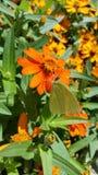 在橙色花的蝴蝶 免版税库存图片