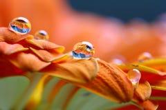 在橙色花的水滴 库存图片