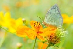 在橙色花背景迷离的美丽的蝴蝶 免版税库存照片