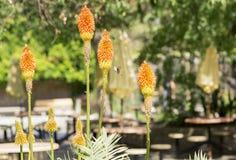在橙色花附近的蜂鸟飞行 图库摄影