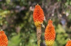 在橙色花附近的蜂鸟飞行 免版税库存照片