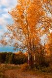 在橙色草中的秋天桦树树丛 库存照片