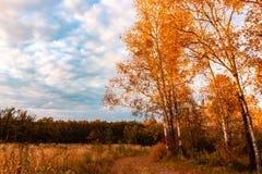 在橙色草中的秋天桦树树丛 图库摄影