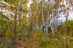 在橙色草中的秋天桦树树丛 免版税图库摄影