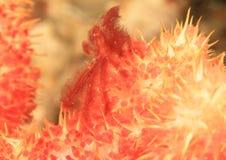 在橙色软的珊瑚的猩猩螃蟹 免版税库存图片