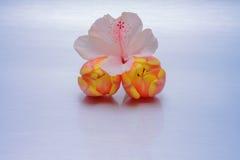 在橙色郁金香的桃红色花 图库摄影