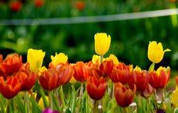 在橙色郁金香领域的黄色郁金香花 免版税图库摄影