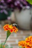 在橙色野花的蜂 库存图片