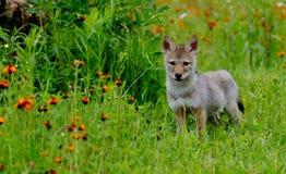 在橙色野花的领域的机敏的狼小狗 图库摄影