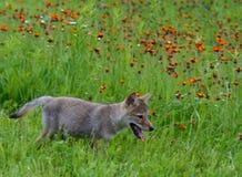 在橙色野花的领域的狼小狗 图库摄影