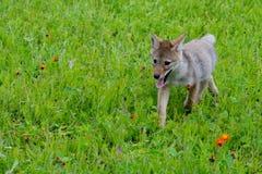 在橙色野花的领域的狼小狗 库存图片