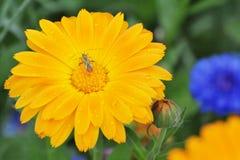 在橙色金盏草花的一个臭虫与水下落 库存照片