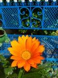 在橙色颜色的开花的延命菊 库存照片
