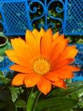 在橙色颜色的开花的延命菊 库存图片