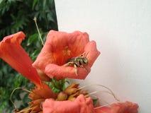 在橙色颜色campsis花的黄蜂在夏天庭院关闭 免版税库存照片