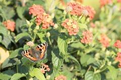 在橙色马樱丹属的蝴蝶 免版税库存照片