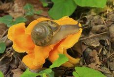 在橙色黄蘑菇蘑菇的蜗牛 免版税库存图片
