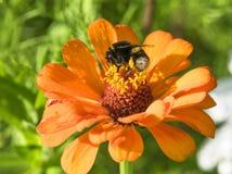 在橙色flower_II的蜂 免版税库存图片