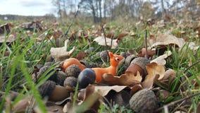 在橡子和叶子之间 免版税图库摄影