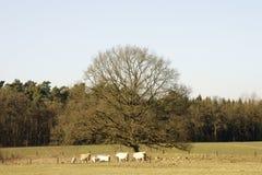 在橡木下的母牛 免版税图库摄影