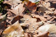 在橡木下落的叶子的水下落  秋天日 金黄秋天 免版税图库摄影