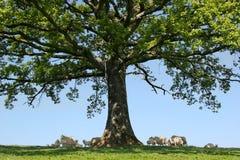 在橡木之下 免版税库存照片