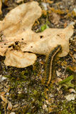 在橡木叶子和土壤的五颜六色的帐篷毛虫 免版税库存图片