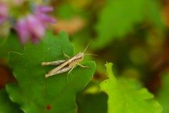 在橡木叶子的照片蚂蚱 图库摄影