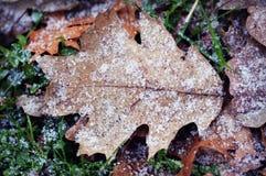 在橡木叶子的雪 库存图片