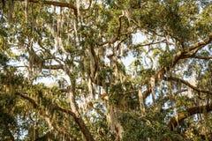 在橡木和木兰树的寄生藤 图库摄影