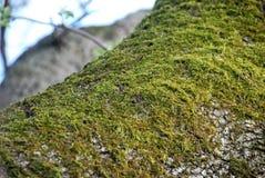 在橡木树干的青苔 图库摄影