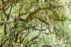 在橡木的寄生藤 免版税库存照片