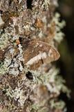 在橡木的树干的蝴蝶 库存照片
