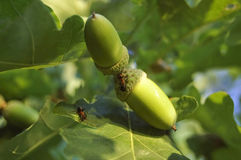 在橡木的橡子和叶子的两只蚂蚁 免版税库存图片