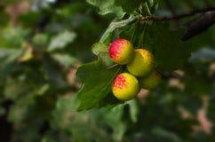 在橡木,栎五倍子叶子的成长擦伤 免版税库存照片