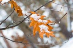 在橡木黄色叶子的第一雪  从秋天改变季节到冬天 库存照片